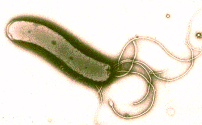 'Helicobacter-Pylori
